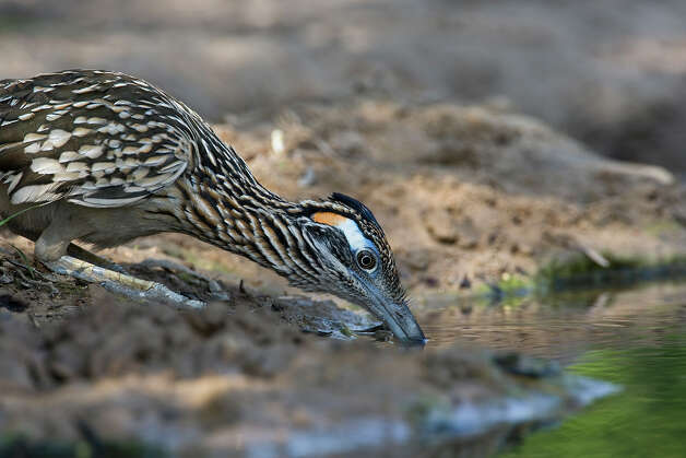 Greater roadrunners are in the cuckoo family and found throughout Texas except uncommonly in deep East Texas.  Photo Credit:  Kathy Adams Clark.  Restricted use. Photo: Kathy Adams Clark / Kathy Adams Clark/KAC Productions