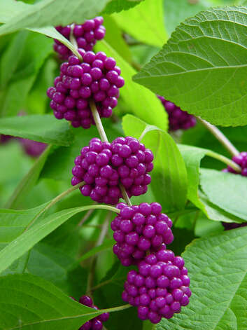 American beautyberry (Callicarpa americana) Photo: Express-News File Photo