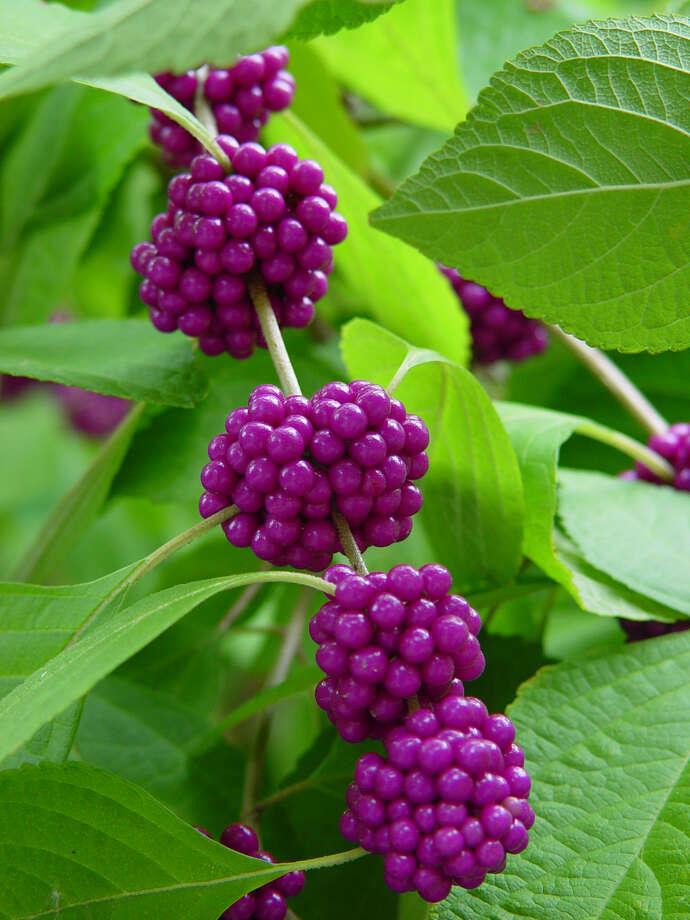 American beautyberry (Callicarpa americana) Photo: Express-News File Photo