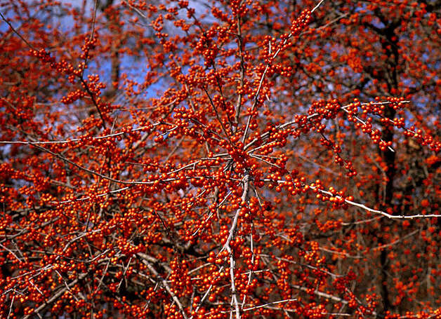Possumhaw holly (Ilex decidua) Photo: JERRY M. PARSONS