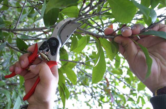 Don't overprune woody plants this late in the season. Photo: Express-News File Photo / SAN ANTONIO EXPRESS NEWS