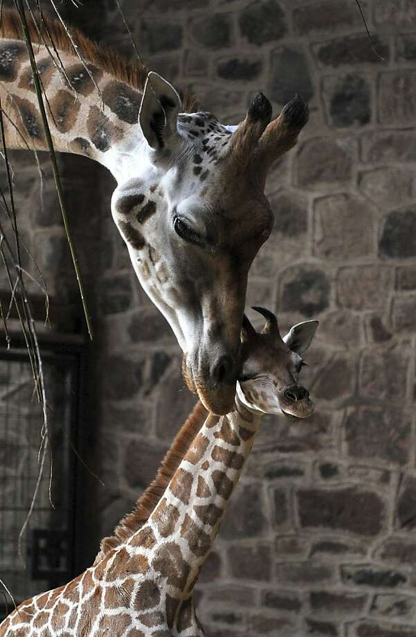Dagma nuzzles her 10-day-old calf at Chester Zoo in Chester, England. Photo: Martin Rickett, Associated Press