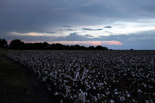 Cotton fills the field behind the home of J.B. Porter and his wife, Catherine Porter. Although most of the landowners are retired from farming themselves, they lease the land. Photo: Lisa Krantz, San Antonio Express-News / © 2012 San Antonio Express-News