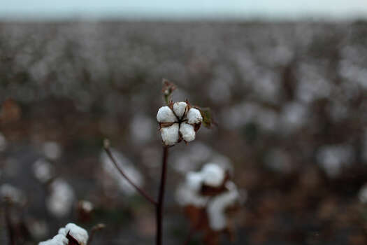 Cotton farming is the base of Pelham's history. Cotton still fills the fields owned by J.B. Porter and his wife, Catherine Porter, behind their home in Pelham on August 26, 2012. Since the Porters are retired from farming, they lease their land for a variety of crops. Photo: Lisa Krantz, San Antonio Express-News / © 2012 San Antonio Express-News