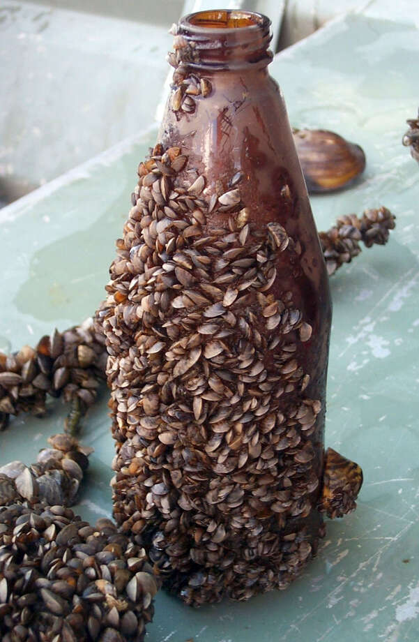 This photo shows how zebra mussels -- an invasive, not native species -- can proliferate. Similar mussels have been found in Lake Lillinonah. Photo: Contributed Photo, ST / The News-Times Contributed