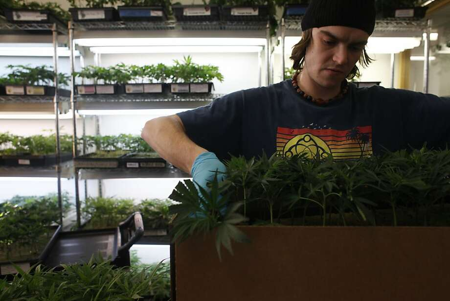 "A sales associate at Harborside Health Center sells different varieties of California grown marijuana plants, ""clones,"" to patients at the dispensary on Thursday January 27, 2011 in Oakland. Photo: Mike Kepka, The Chronicle"