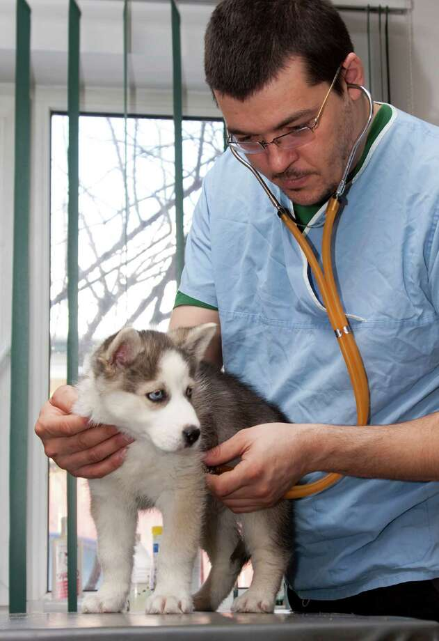 Husky puppy at a small animal clinic Photo: Melinda Nagy / iStockphoto
