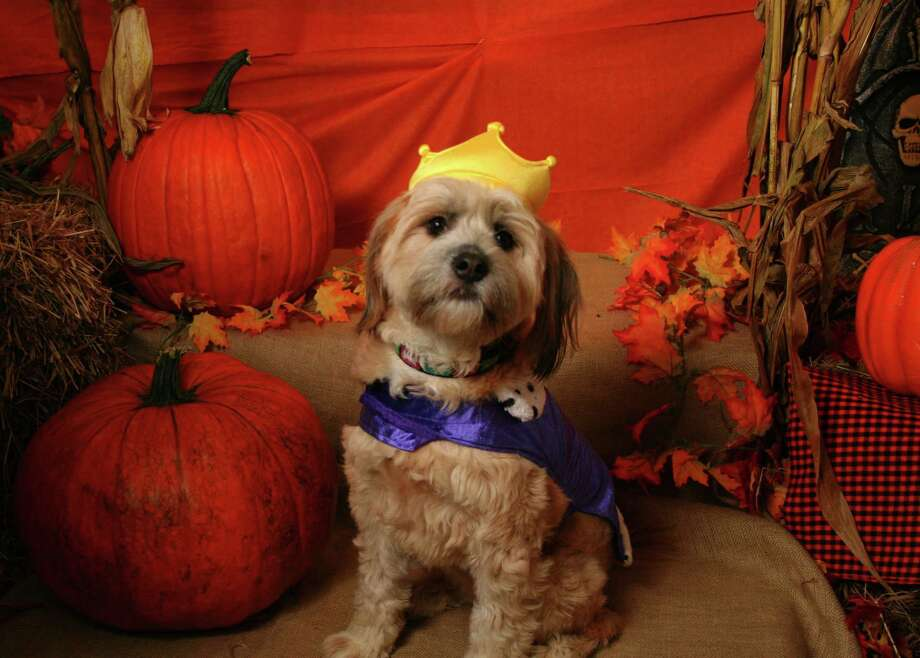 Maggie, one of last year's Halloween Photo Shoot participants at Village Critter Outfitter, is a picture of royalty. Photo: Contributed