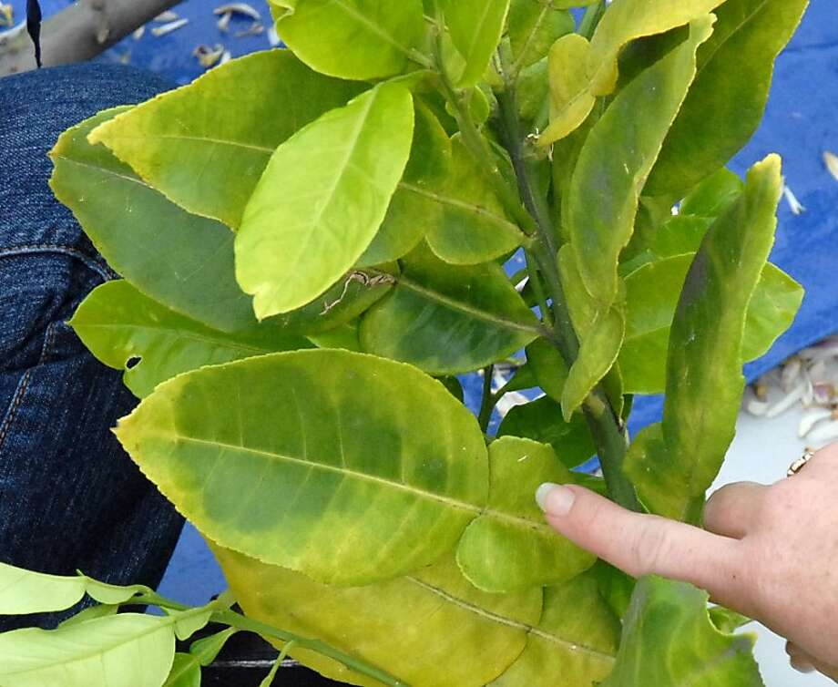 Huanglongbing-infected leaves show irregular yellow mottling. The disease is carried by the Asian citrus psyllid. Photo: California Department, Of Food And Agriculture