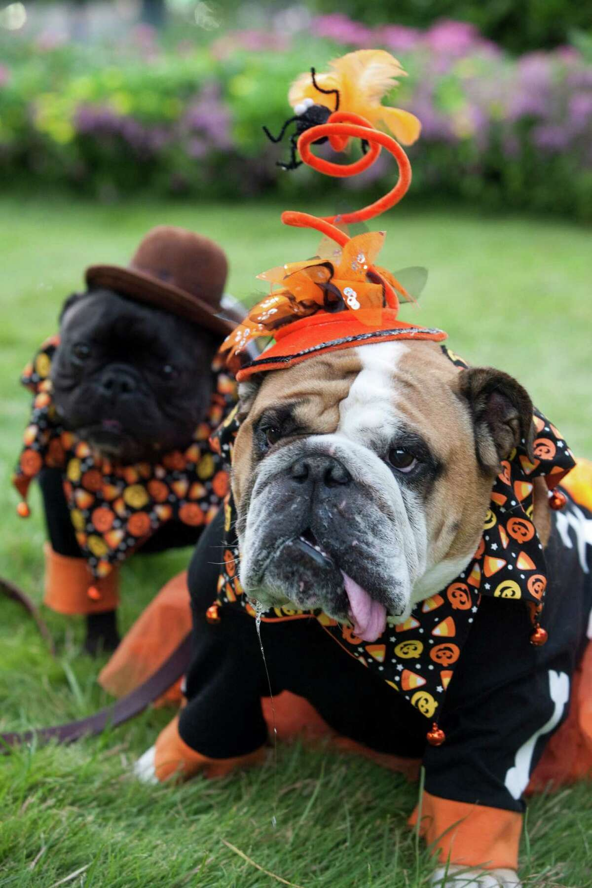 Lee Hileman's Louie, left, and Gabby, both won first place at Barnaby's Paw Parade and Costume Contest., Oct. 13, 2012 in Houston at Market Square.