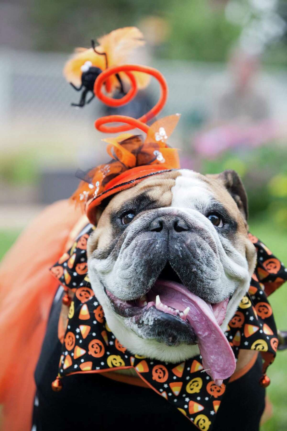 Lee Hileman's bulldog Gabby, 6, was a prize-winner at Barnaby's Paw Parade and Costume Contest.
