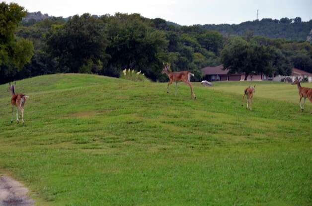 Deer along the front nine at Canyon Lake Golf Club.