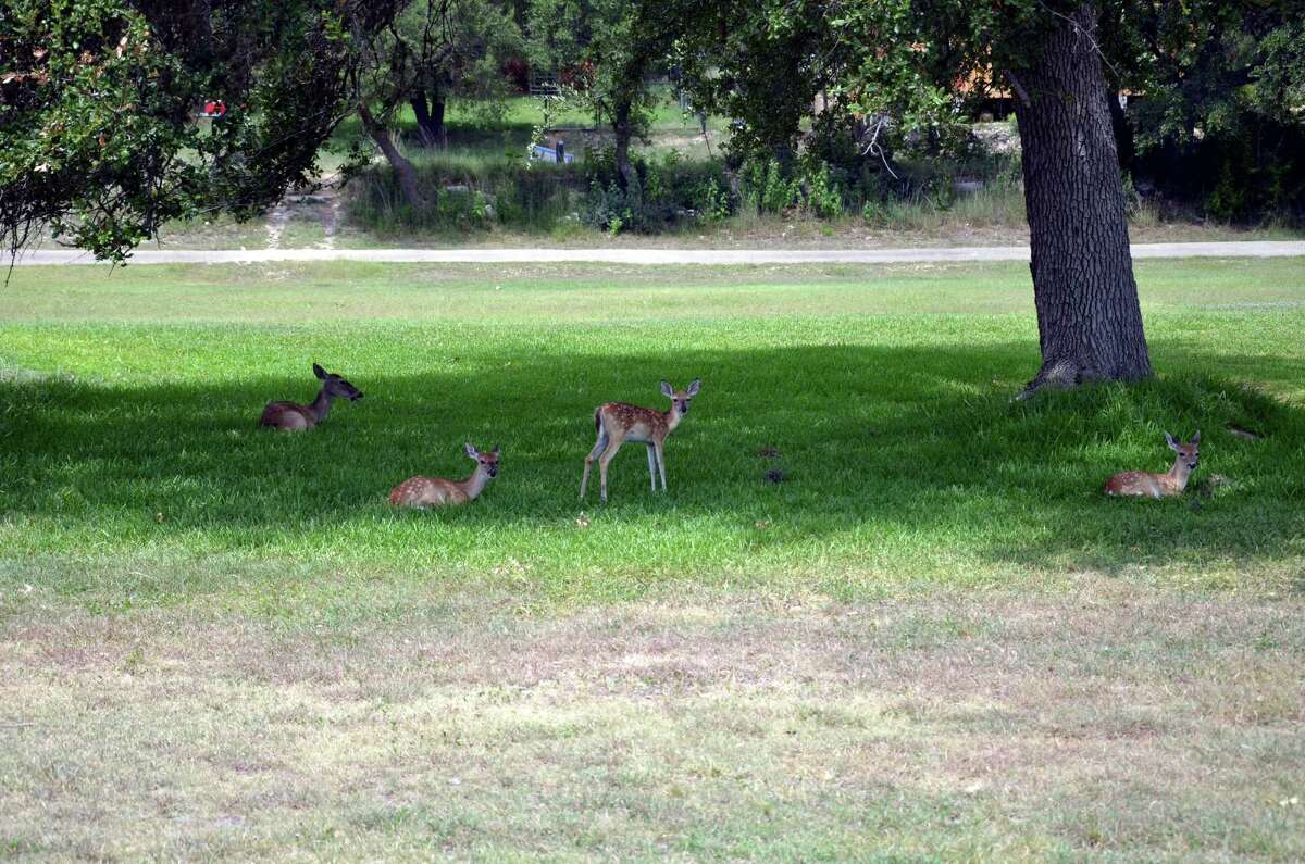 Deer rest in the shade between the No. 12 and 13 fairways at Canyon Lake Golf Club.