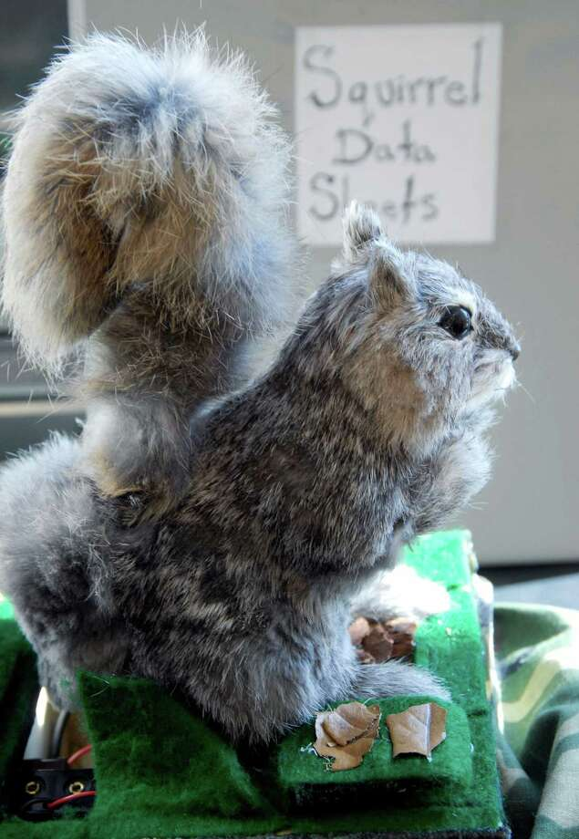 """$325,000: Rocky, the """"robo-squirrel."""" Enough said? Scientists are studying squirrels' interaction with rattlesnakes with this robotic rodent. Coburn thinks it's squirrely. AP Photo/Nancy Palmieri Photo: Nancy Palmieri, . / AP"""