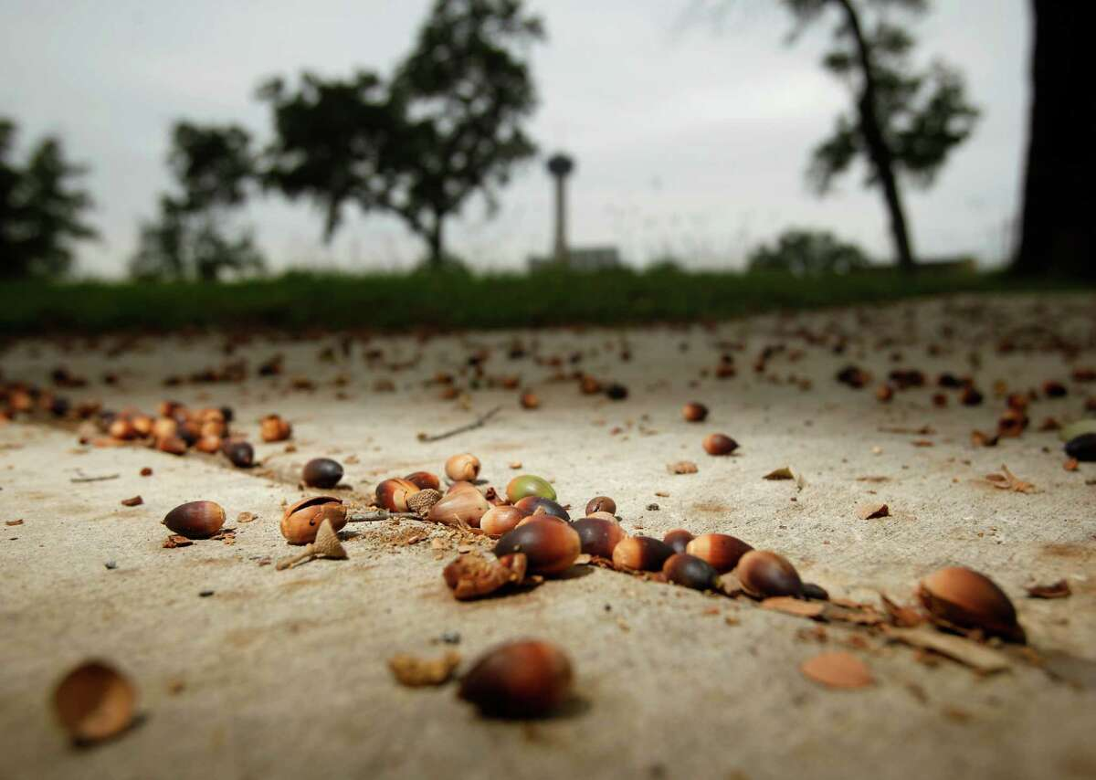 Acorns fill the sidewalks Tuesday morning Oct. 16, 2012 below an oak tree on Leigh Street. Despite an ongoing drought, well-timed rains have brought a bumper crop of acorns to the area
