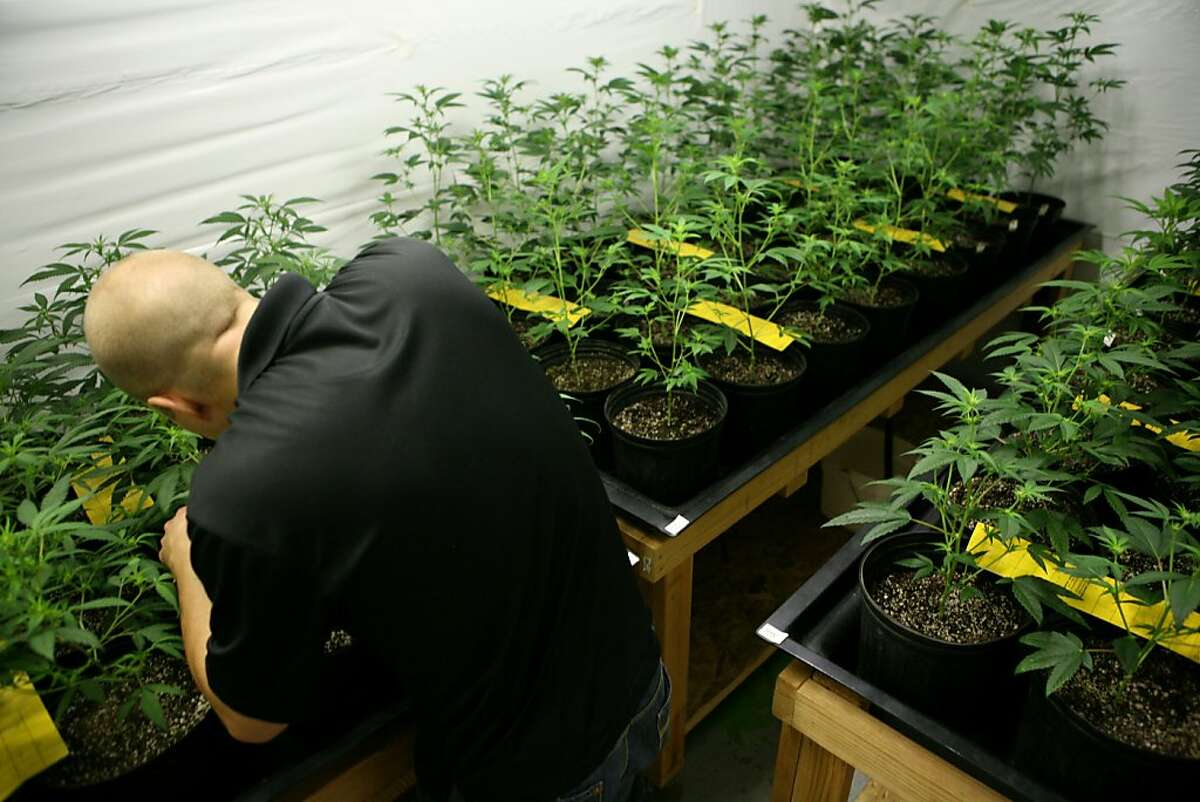A local grower of medicinal marijuana, who wishes to remain anonymous, tends to his 96 plant farm on Sunday, July 18, 2010 in the East Bay, Calif.