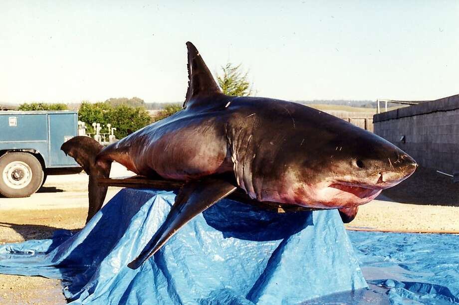 This 1,700-pound great white, caught by a fisherman in Morro Bay, was among the sharks examined for the study. Photo: Tim Stephens, UC Santa Cruz