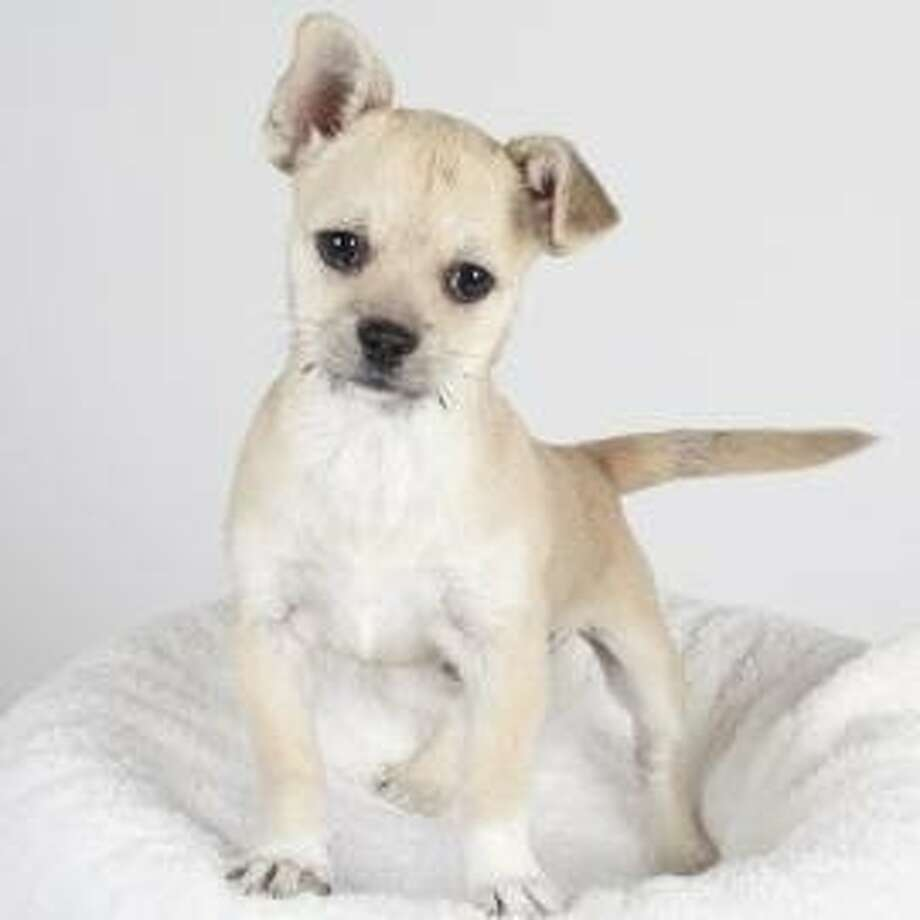 Violet, a 10-week-old terrier mix, was stolen from the San Francisco SPCA Adoption Center on Tuesday, Oct. 16, 2012. Photo: Courtesy SFSPCA