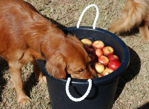 Why the kids are avoiding the apple-bobbing bucket this year. Photo: Sue Subkow, Associated Press