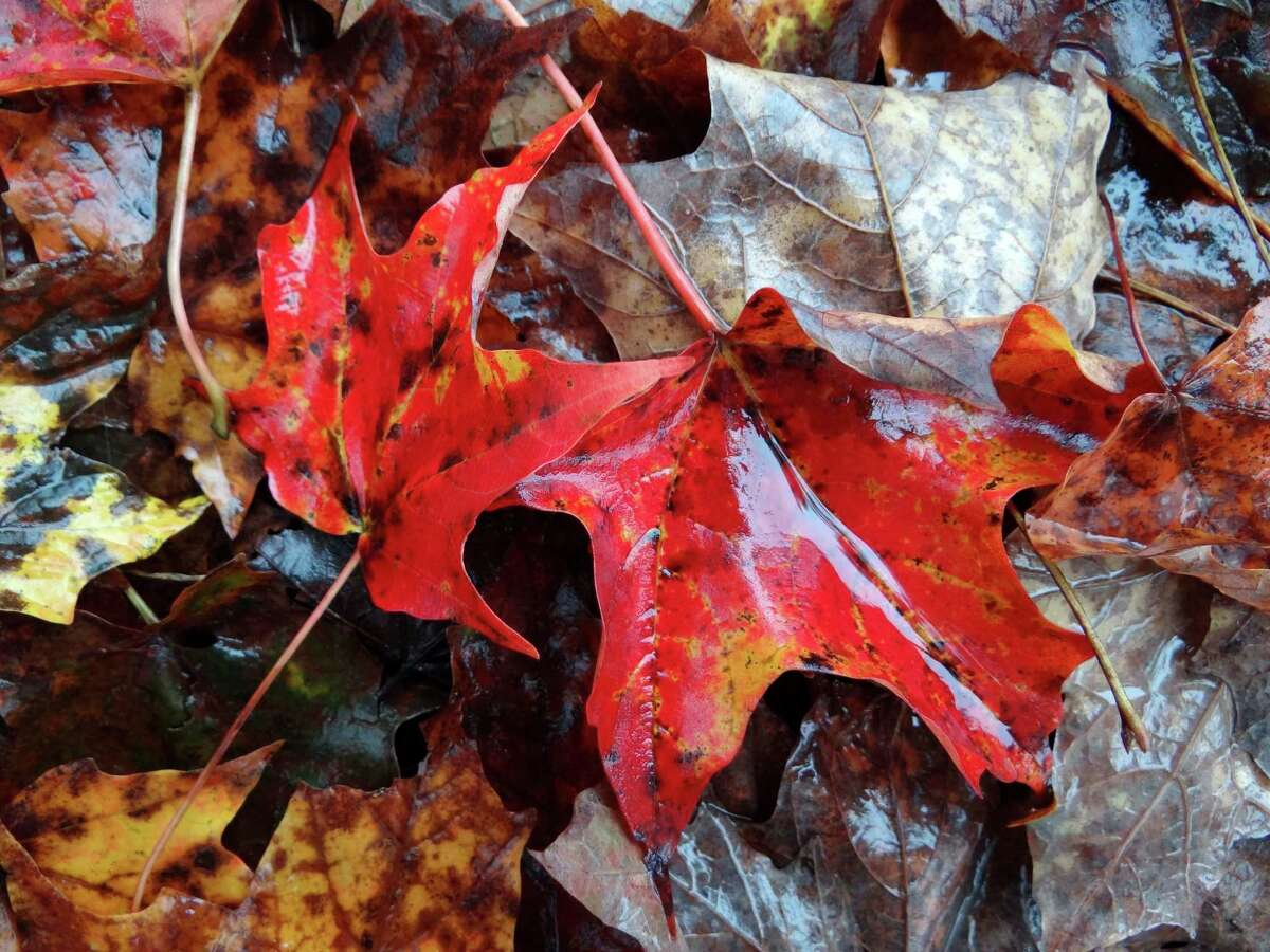 Colorful leaves line the ground at Contoocook Riverway Park in New Hampshire on Oct. 3, 2012.