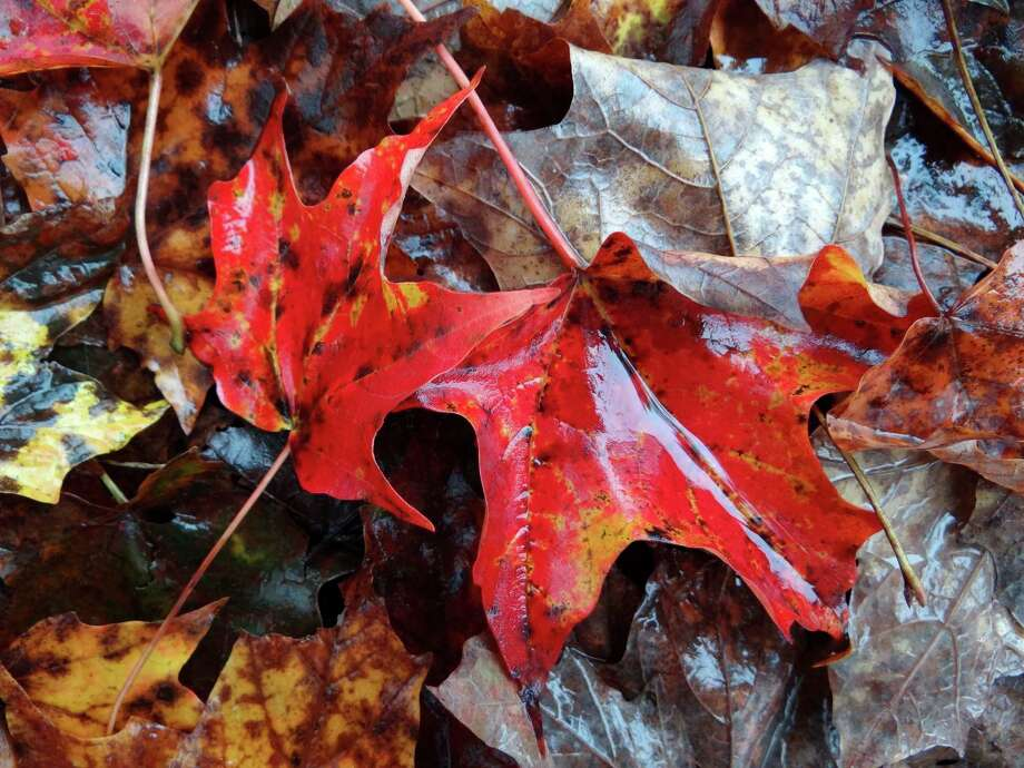 Colorful leaves line the ground at Contoocook Riverway Park in New Hampshire on Oct. 3, 2012. Photo: Billy Calzada, San Antonio Express-News / © 2012 San Antonio Express-News