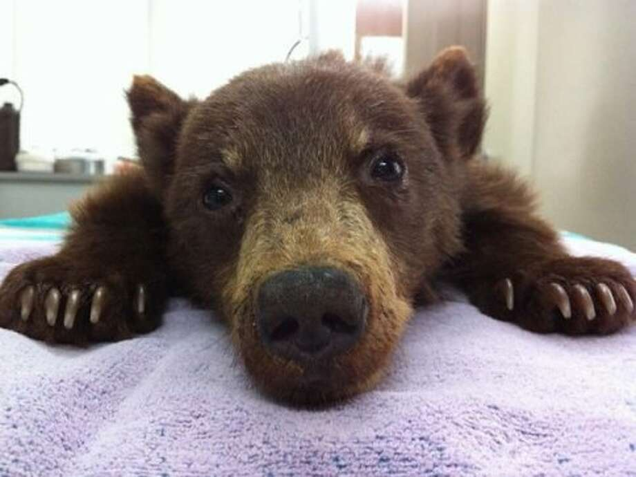 A 3-month-old female cub was found wandering on her own in Ventura County over the weekend. (Photo courtesy of Department of Fish and Game)