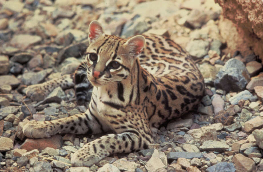 An ocelot is seen in this undated file photo. A male ocelot was found dead on Texas 100 between Laguna Vista and Los Fresnos on July 9, the U.S. Fish and Wildlife Service reported Thursday afternoon. Photo: TOM SMYLIE, U.S. FISH AND WILDLIFE SERVICE