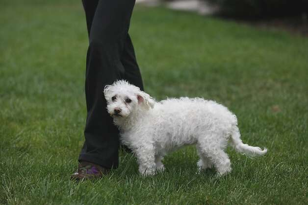 Claire, a mixed Maltese-Poodle, rests on Sandy Wong's leg at her home in Oakland. Claire has been diagnosed with cancer and is currently being treated by Dr. Shea Cox through her pet hospice service Bridge Veterinary Service. Photo: Rashad Sisemore, The Chronicle
