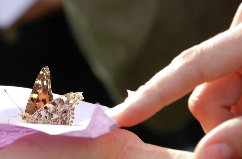 One of 94 Painted Lady butterflies released  Wednesday at Earthplace as part of Westport's observance of Domestic Violence Awareness Month. Photo: Jarret Liotta / Westport News contributed