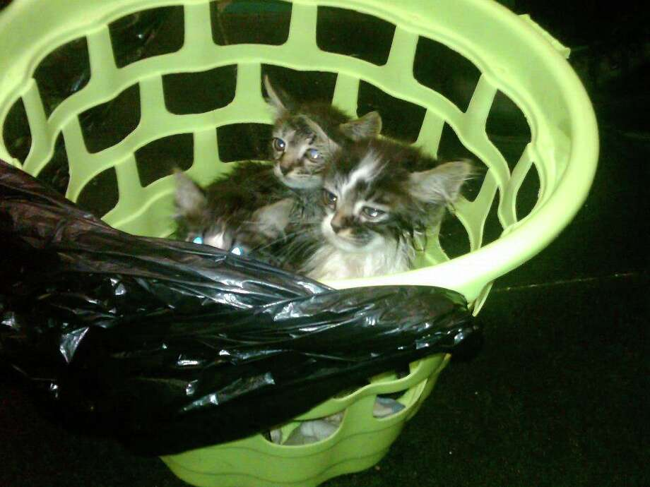 Kittens found abandoned in the rain in Troy in September 2012. (Provided photo)