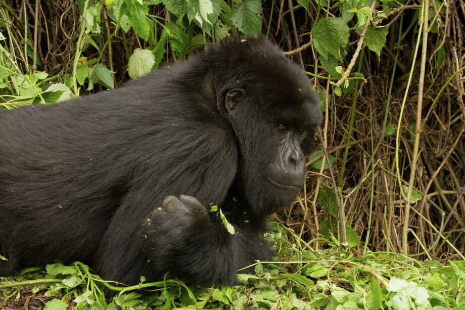 A Rwandan mountain gorilla. Photo: Tom Gandy