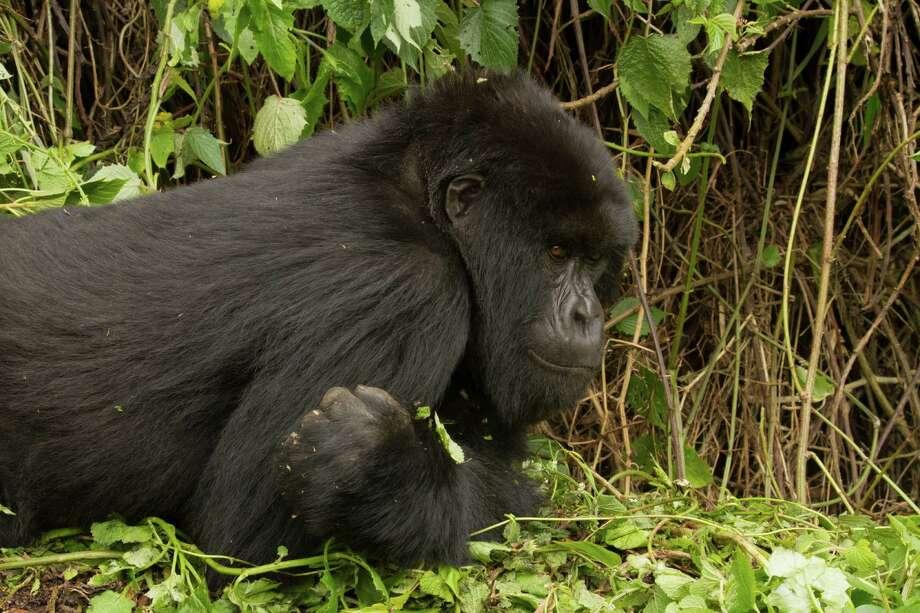A Rwandan mountain gorilla. Photo: Tom Gandy