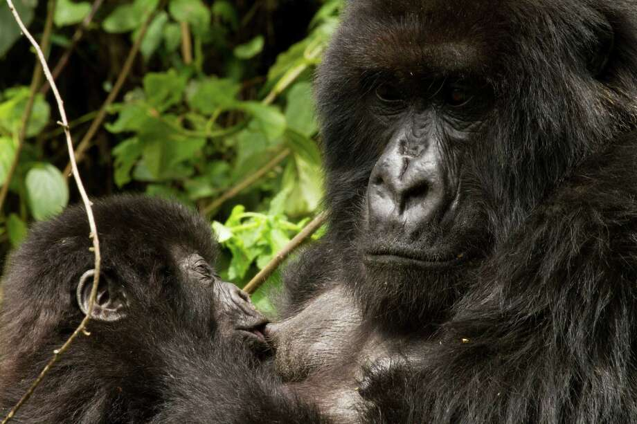 """In his book """"Spillover,"""" David Quammen writes about diseases that move from animal to human populations, often with deadly results. Scientists have linked the ebola virus to gorillas, such as this mountain gorilla in Rwanda. Photo: Tom Gandy"""