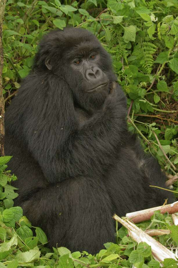 "In ""Spillover,"" David Quammen writes about diseases that move from animal to human populations, often with deadly results. Scientists have linked the ebola virus to gorillas, such as this mountain gorilla in Rwanda. Photo: Tom Gandy"
