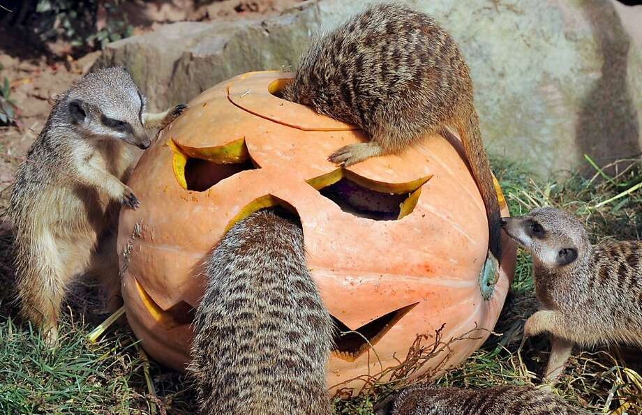 Gross, Bill! Not in his nose!At least he's not rooting for pumpkin boogers. The Leipzig (Germany) Zoo stuffed this jack-o'-lantern with squirming flour worms. Mm, mm. Photo: Waltraud Grubitzsch, AFP/Getty Images