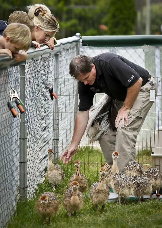 Biologist Tim Steinmetz keeps 9-day-old ostrich chicks moving in an outdoor pen at the California Academy of Sciences. Photo: Russell Yip, The Chronicle