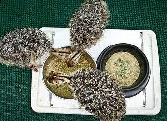 Ostrich handler helps newborns develop - SFGate