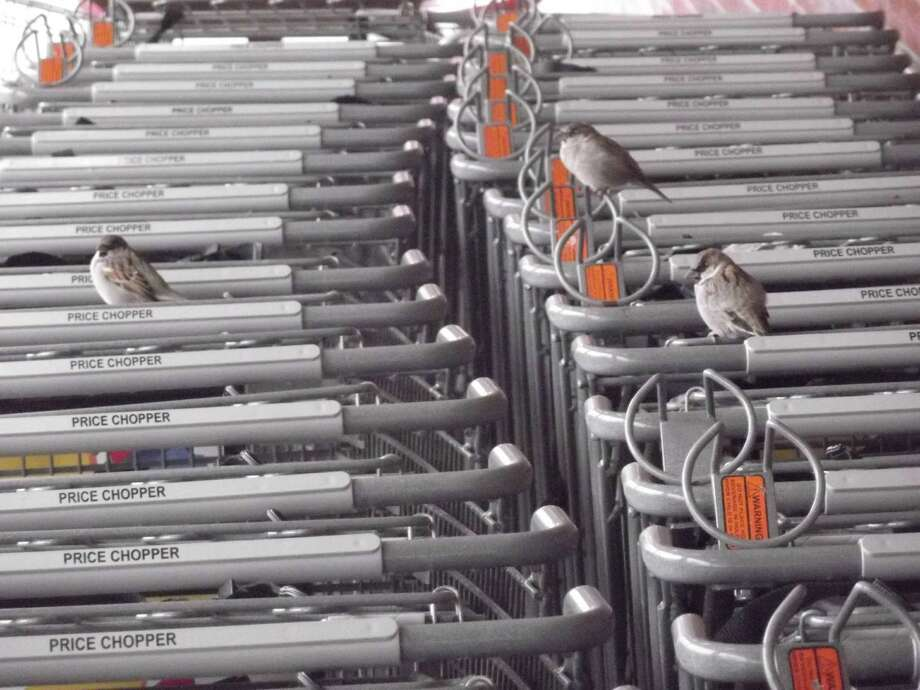 Sparrows have their own 'Occupy' movement at the Westmere Price Chopper. Once, the store tried to do something about all the birds flying around the side entrance where the shopping carts are kept, said Tim O'Toole. Someone must have complained and the store had mesh screens installed, only to find out that they could not change overhead light bulbs. So they had to cut and install zippers in the mesh, but the birds apparently figured out how to bypass that, O'Toole notes. (Tim O'Toole)