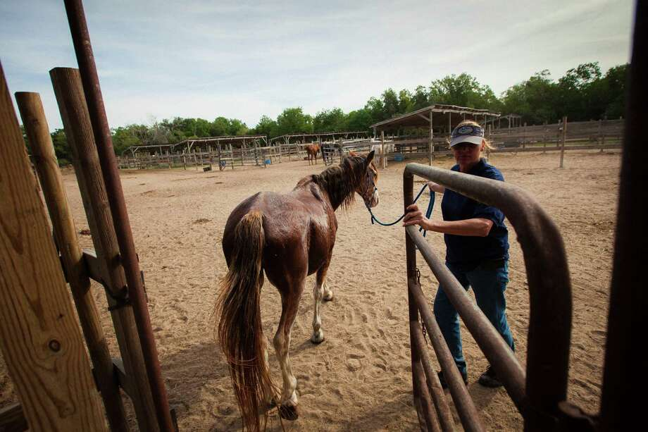 Ranch-hand Ninette Cooke leads a horse into the corral at the Habitat for Horses ranch, Monday, Oct. 15, 2012, in Hitchcock. Photo: Michael Paulsen, Houston Chronicle / © 2012 Houston Chronicle