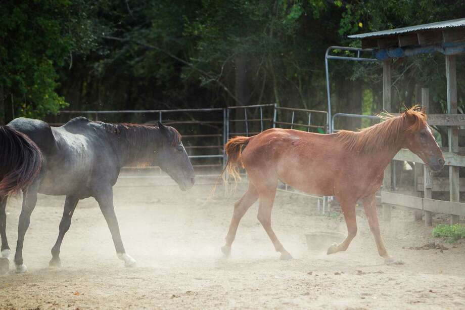 Horses walk through the corral at the Habitat for Horses ranch. Photo: Michael Paulsen, Houston Chronicle / © 2012 Houston Chronicle