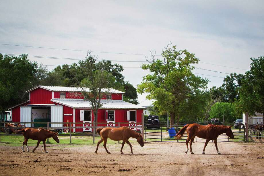 Horses walk through the corral at the Habitat for Horses ranch, Monday, Oct. 15, 2012, in Hitchcock. Photo: Michael Paulsen, Houston Chronicle / © 2012 Houston Chronicle
