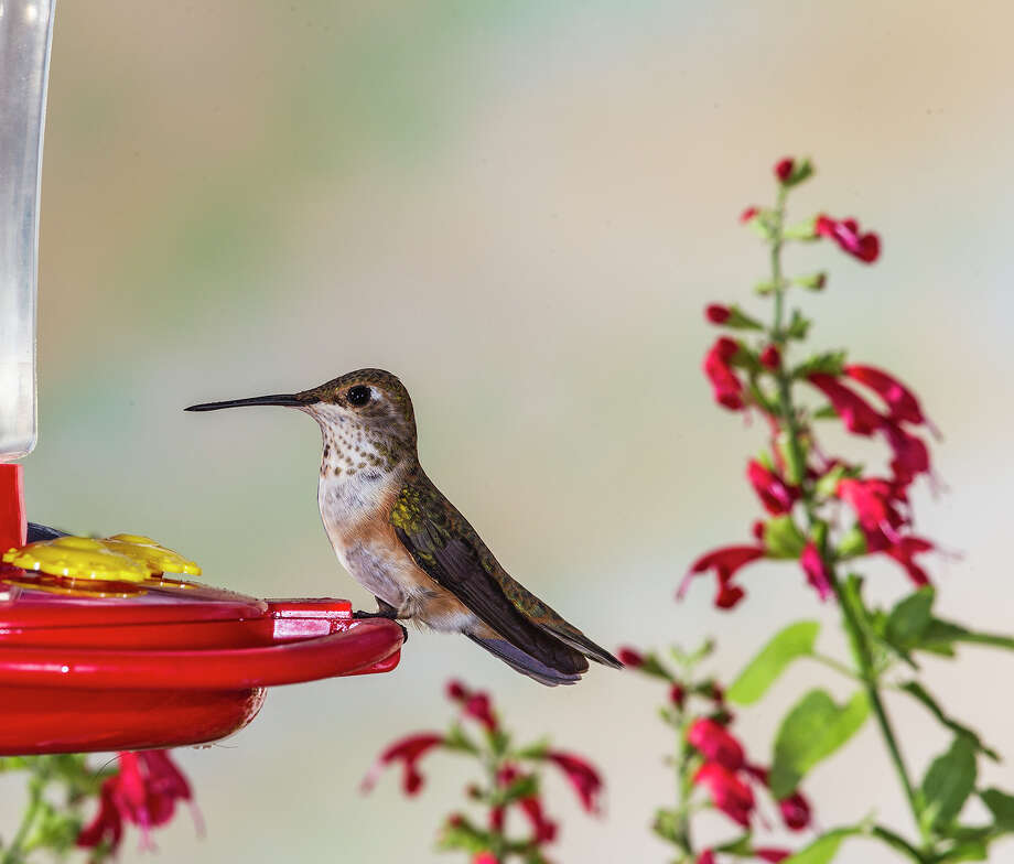 Rufous hummingbirds have been reported in area gardens this fall.  Look for them throughout the winter months at feeders.  Photo Credits:  Kathy Adams Clark.  Restricted use. Photo: Kathy Adams Clark / Kathy Adams Clark/KAC Productions