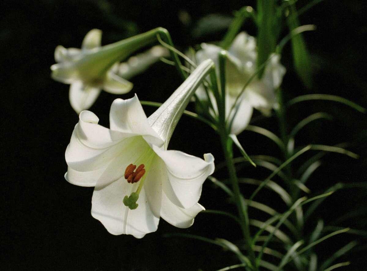 Philippine lily
