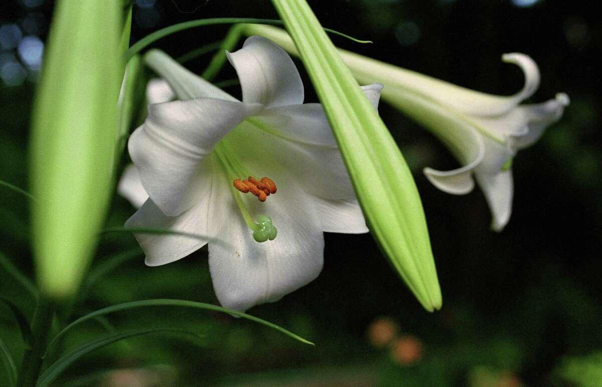 The naturalizing Philippine lily, Lilium formosanum, produces large white blooms on 4-foot stalks. John Everett photo.