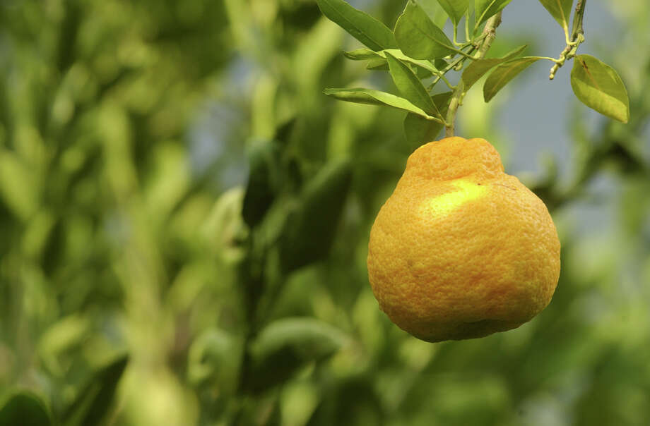 'Changsha' tangerines, satusumas and other citrus produce well as backyard trees or in patio containers. Photo: Express-News File Photo / 2005 SAN ANTONIO EXPRESS-NEWS