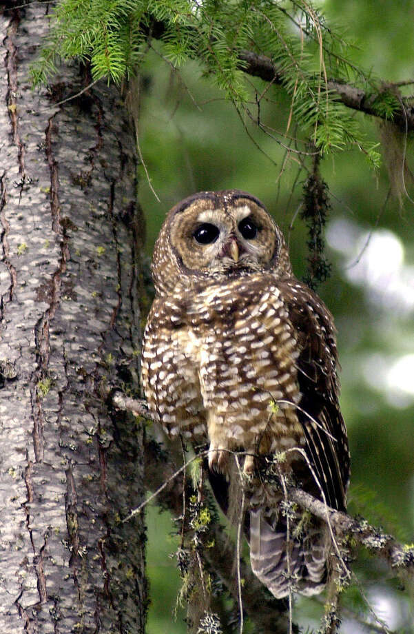 Environmentalists say saving endangered creatures like the spotted owl would be more efficient and save time and money under the new economic policy. Photo: Don Ryan / AP