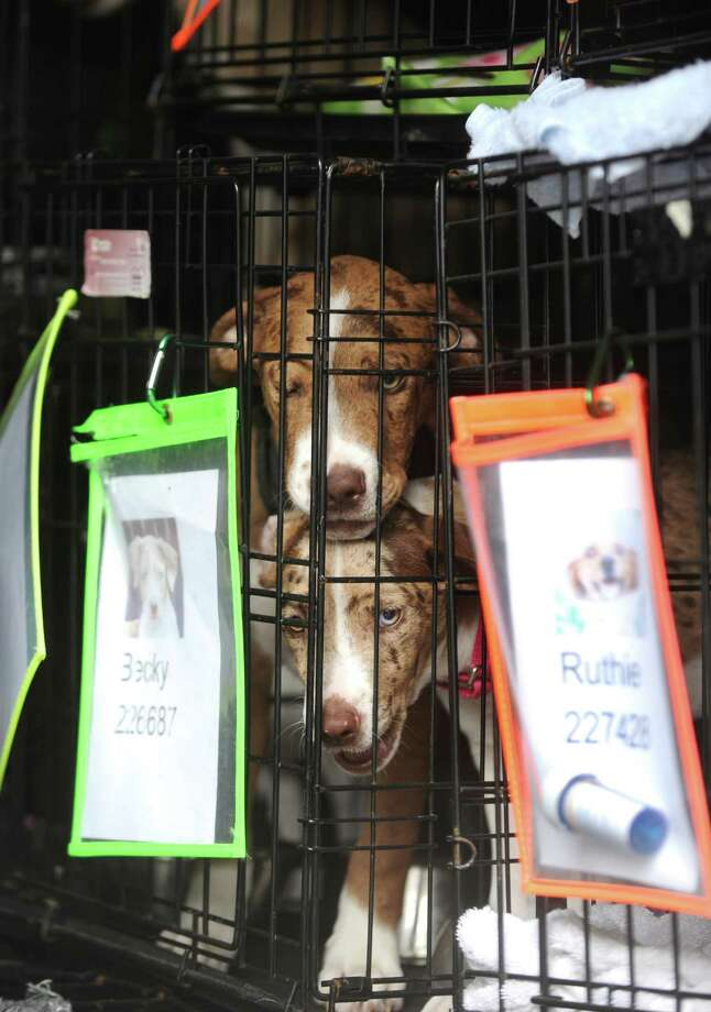 Dogs peer from their cages after their arrival in New Hampshire following a 2,000-mile journey from San Antonio on Oct. 1, 2012. They will be put up for adoption. Photo: Billy Calzada, San Antonio Express-News / © San Antonio Express-News