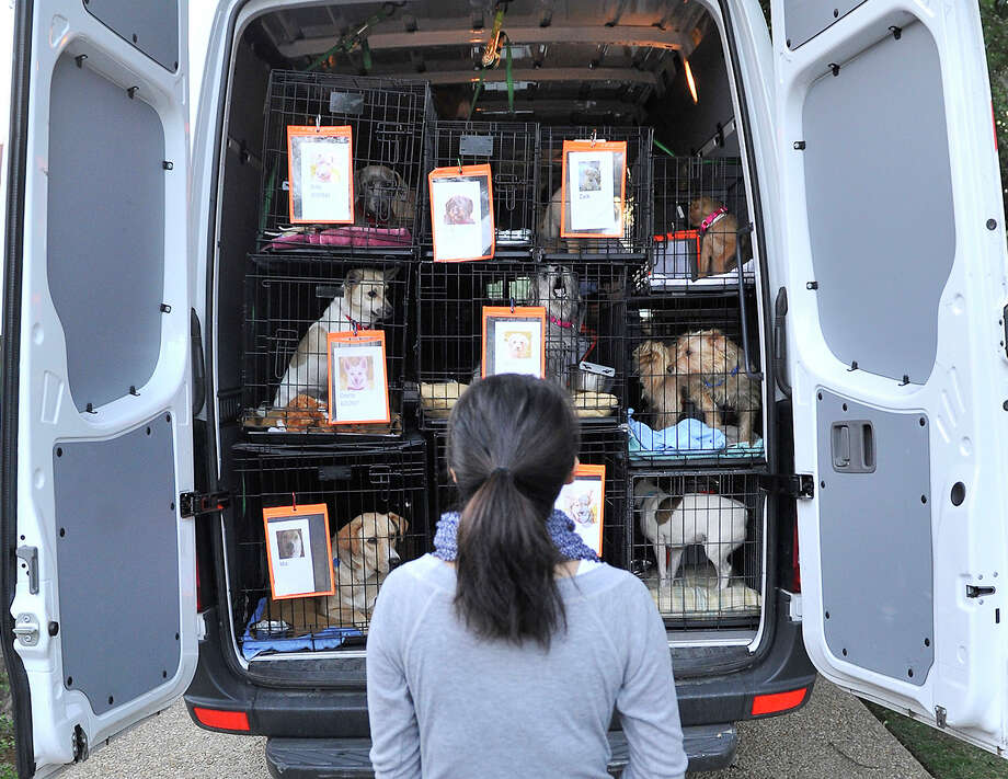 Veronica Wang looks over some of the dogs before a previous transport to Nashua, N.H., by Alamo Rescue Friends on April 22, 2012. Photo: Robin Jerstad,  For The Express-News / SAN ANTONIO EXPRESS-NEWS