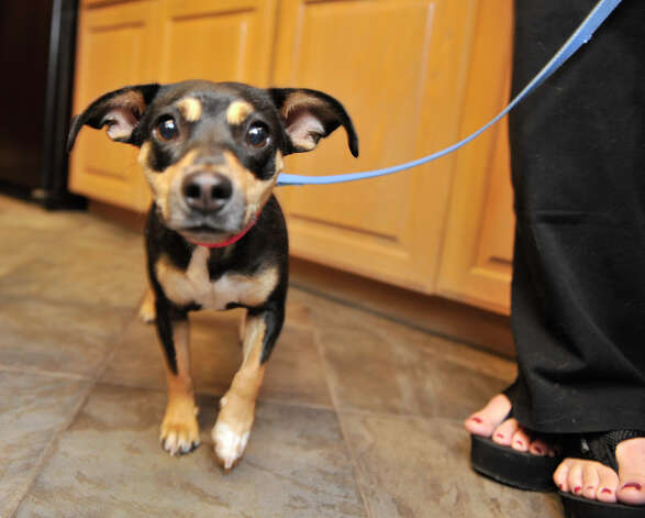 A dog waits to be loaded in the van and taken to waiting, adoptive parents in Nashua, N.H., before a previous transport by Alamo Rescue Friends on April 22, 2012. Photo: Robin Jerstad,  For The Express-News / SAN ANTONIO EXPRESS-NEWS