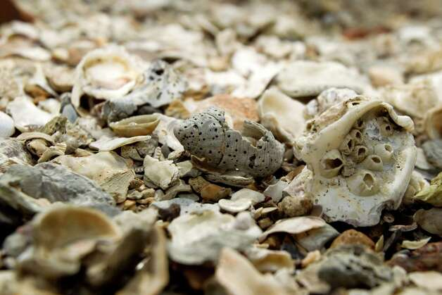 shells clutter the beach on Pelican Island Thursday, Oct. 18, 2012, in Galveston. Photo: Brett Coomer, Houston Chronicle / © 2012 Houston Chronicle